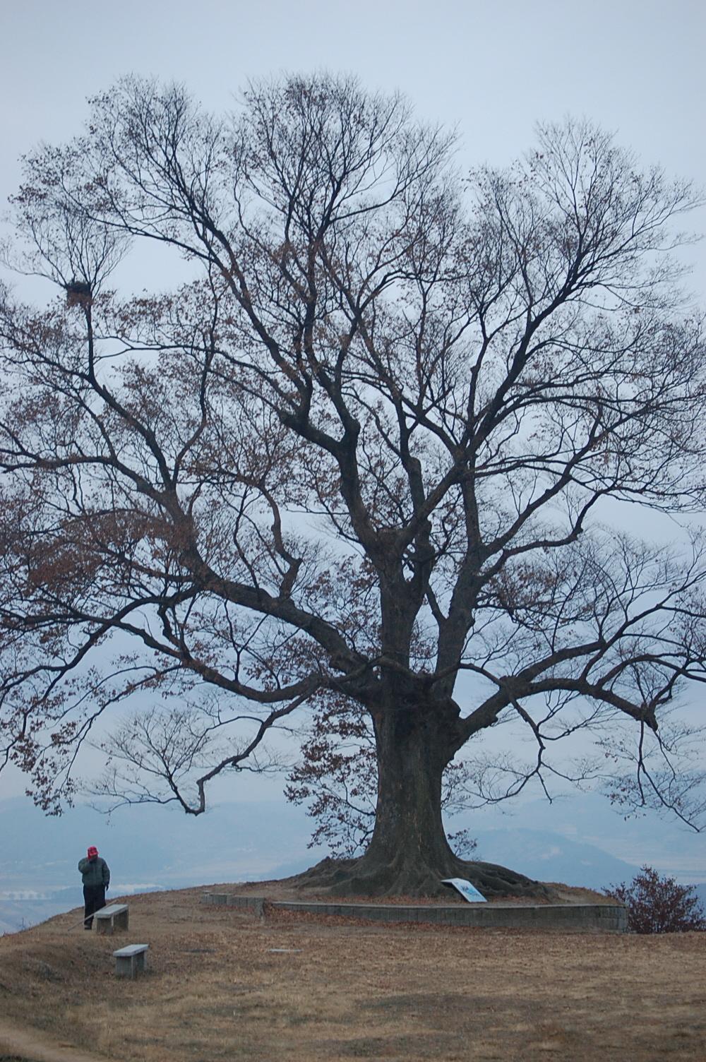 서동요를 찍은 나무