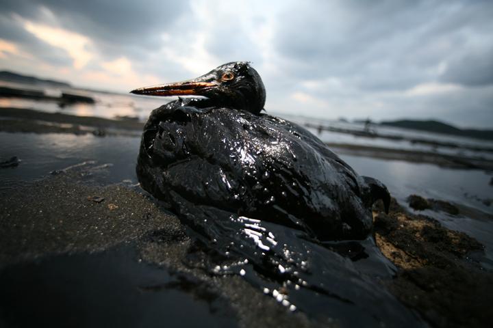 기름을 뒤집어쓴 채 죽어가는 뿔논병아리